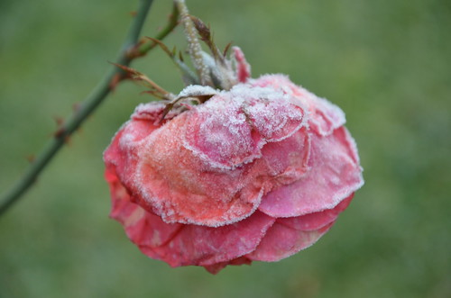 Rose after Frost by Ginas Pics
