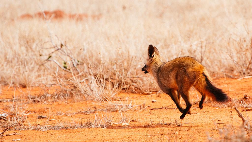 Bat-Eared Fox (Kenya, Day 4)