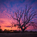 Old Tree in the Setting Sun by Jacqui Barker