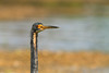 Tricolored heron @ Miami by Marcel Tuit