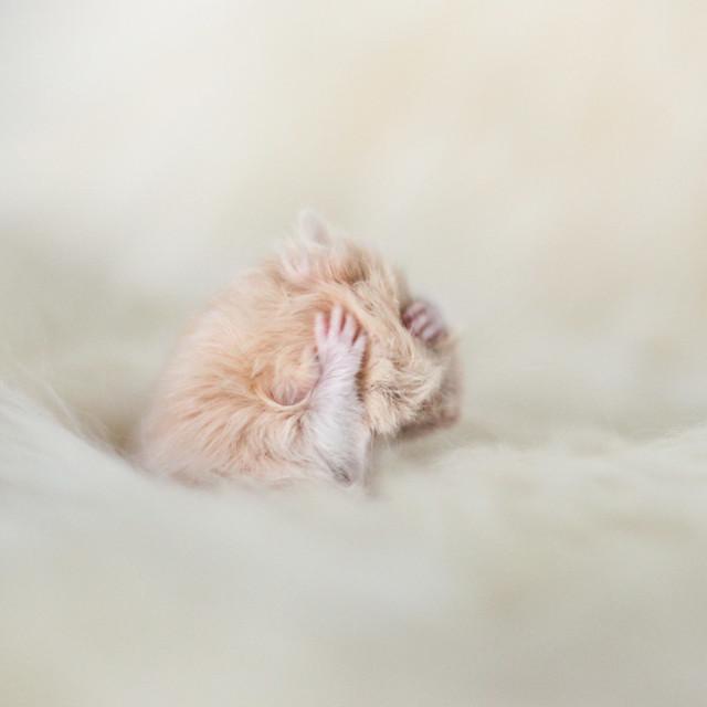 Cream Syrian hamster baby