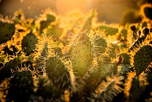 Prickly Pear at Sunset