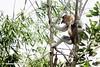 Bekantan - Wild Indonesia 69