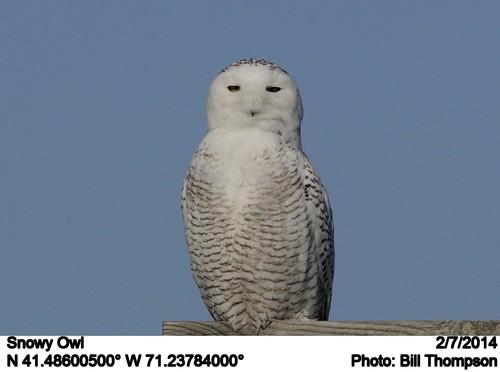 ri birds middletown snowyowl nycteascandiaca sachuestpointnationalwildliferefuge