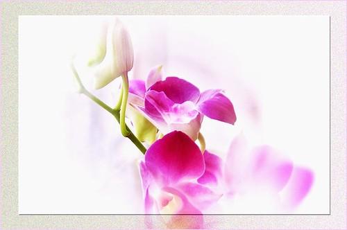 Denfare (orchid)