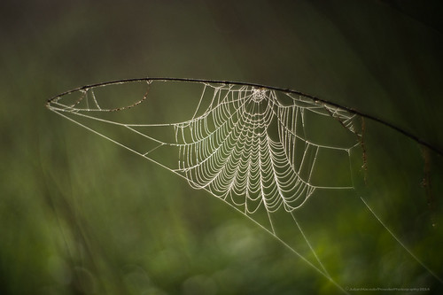 Petzval lens - dew-covered cobweb - 20140422 Featherdown Farm DSC_3530.jpg
