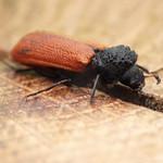 piros csuklyásszú - Bostrichus capucinus
