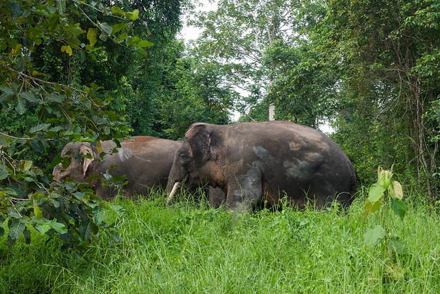 Pigmy Elephants Kinabatangan-2.jpg What animals can you see in Borneo? | Amazing animals in Borneo | How to see orangutans in the wild | How to see pygmy elephants | Can you see flying lemurs in Borneo? | See sun bears in Borneo