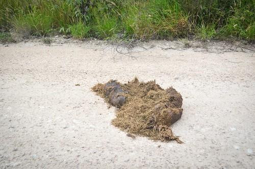 Elephant poop, Etosha NP