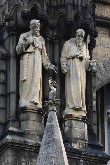 Cathedral Hawk Fledgling (2427)