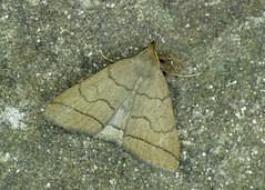 2489 The Fan-foot - Zanclognatha tarsipennalis