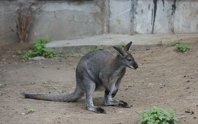 kangaroo (Moscow zoo)