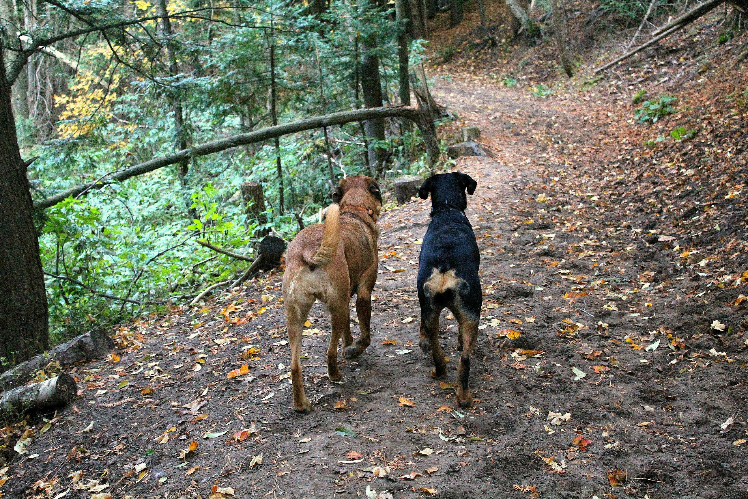Gravenhurst dogs mastiff rottweiler mastweiler fall autumn