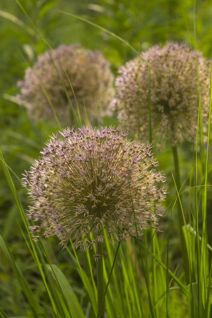 allium seedheads