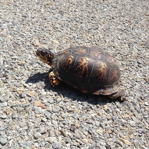 45 miles Helping a turtle. #shelltie