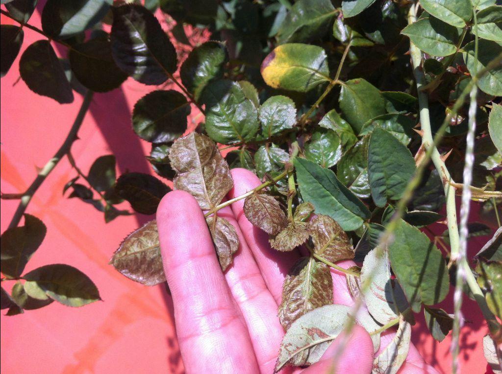 Hình ảnh lá cây hồng nhà chị Thơm đã cung cấp cho tôi xem
