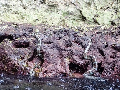 P9140929 Sea Snakes, Niue
