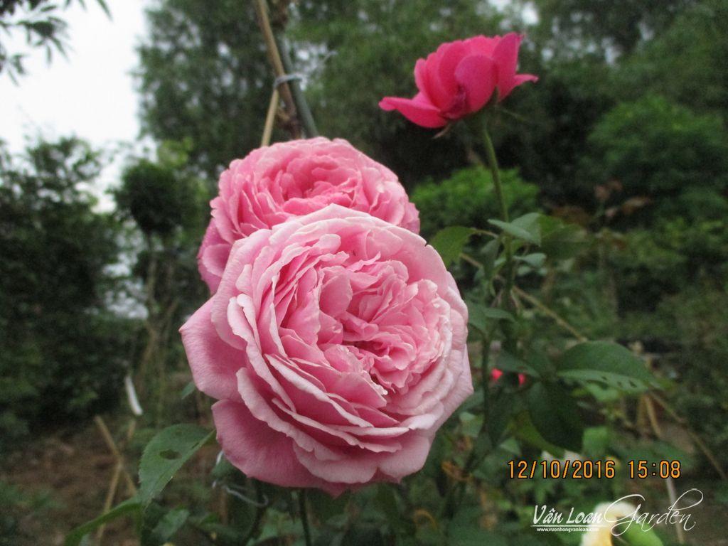 Hoa hồng ngoại Soeur Emmanuelle Rose nở hoa ở vườn vài ngày 12/10/2016