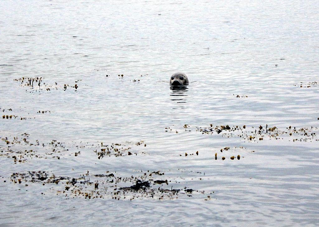 snaefellsnes-peninsula-ytri-tunga-seals-watching