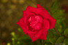 Red Rose-2016-14.jpg