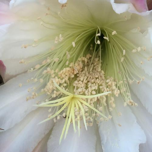 20161010_0625-cactus-flower-w