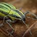 Beetle by lucarte