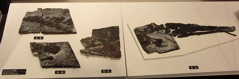 Fossil of Utatsusaurus in the National Museum of Nature and Science, Tokyo