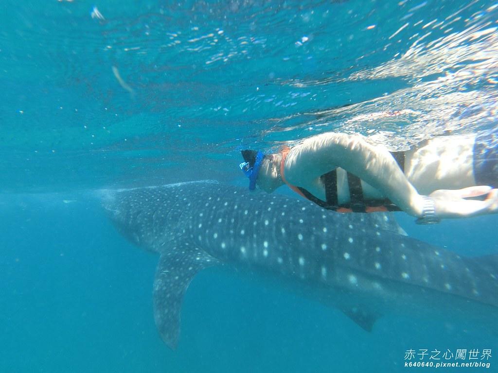 宿霧鯨鯊游泳-Oslob Whale Shark-014
