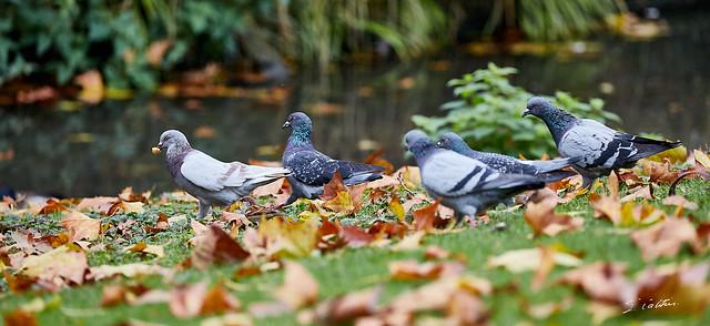 """La """"PPP"""" : Primaire des Pigeons Parisiens ..."""
