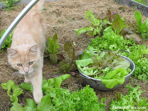 Growing gourmet lettuce and gardening with Jasper (3a) - FarmgirlFare.com