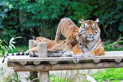 Tigresse & sa famille