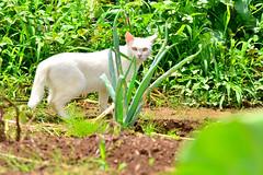 白いノラネコ / White Stray Cat