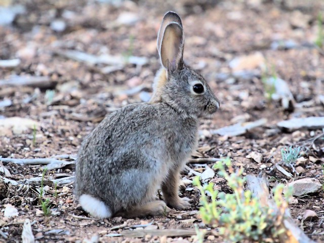 Cottontail Rabbit 20130618