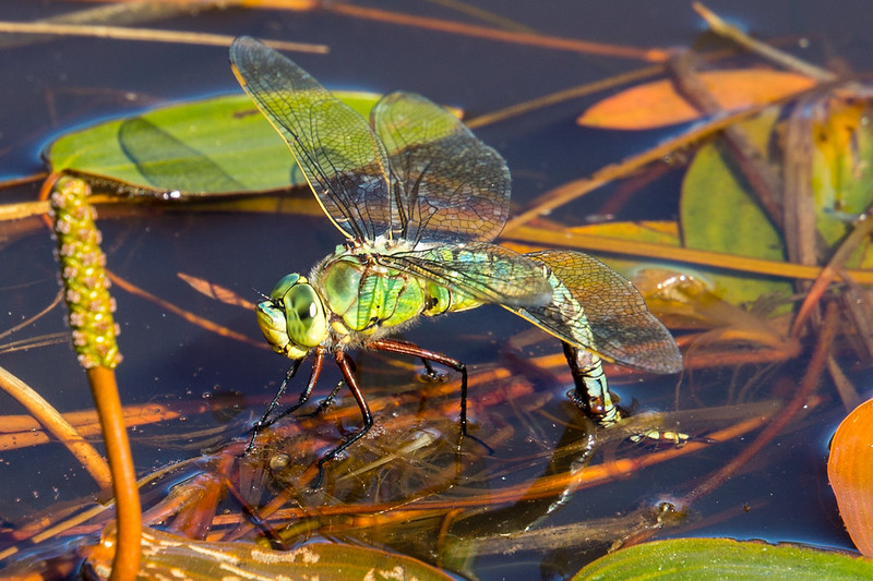 Emperor Dragonfly ovipositing