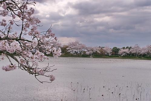 【写真】2013 桜 : 大覚寺/2020-09-15/IMGP9423