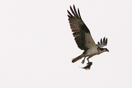 seahawk and fish 2