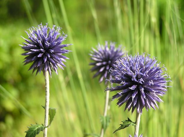 Echinops rito 'Veitch's Blue'