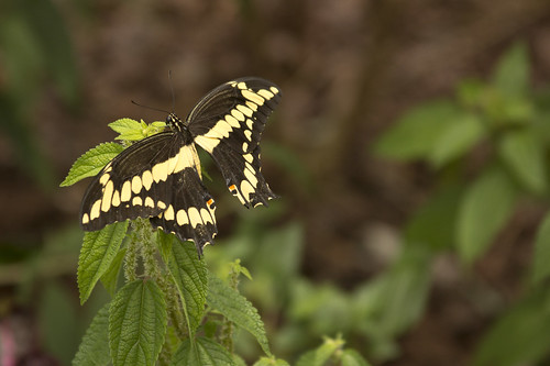 Giant Swallowtail by bahayla