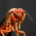 3rd PLace - Altered/Composite - Richard Youngblood - Red Wasp - Up Close