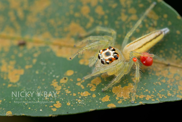 Jumping Spider (Salticidae) - DSC_3235