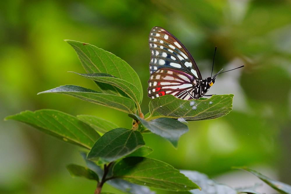 脈蛺蝶屬紅斑脈蛺蝶-1
