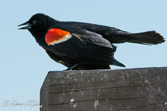 Red-wing Blackbird - Bombay Hook
