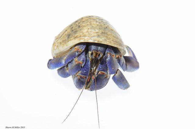 Hermit crab (Coenobita purpureus ) Okinawa, Japan