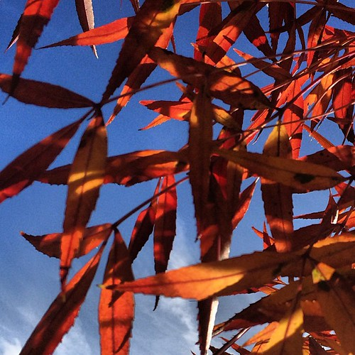 Autumn Leaves #iphoneonly #derby #oakwood #uk #eastmidlands #england #emowalk #sky #skies #autumn