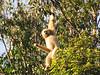 gibbon3