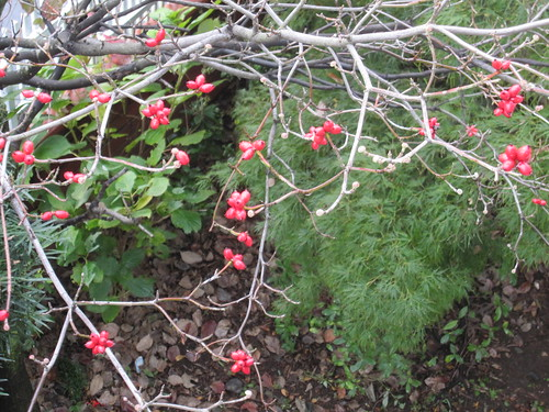 ハナミズキの赤い実 by Poran111