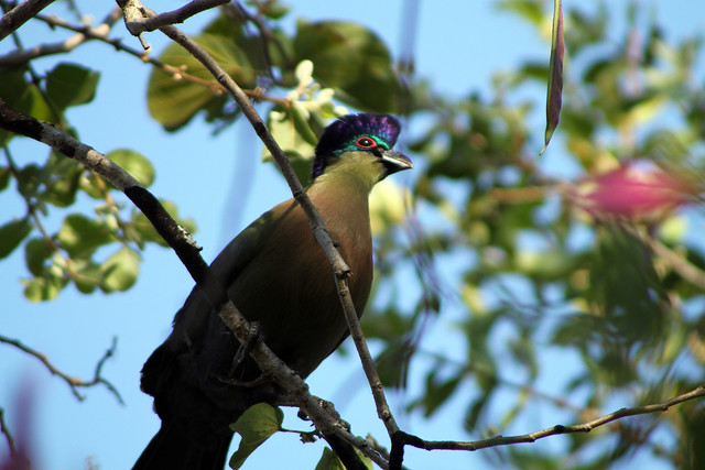 Purple-crested turaco (Tauraco porphyreolophus), Kruger National Park