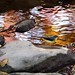 Grey Wagtail in Autumn colors