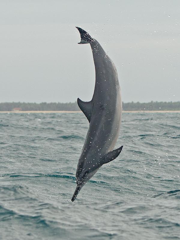 Spinner Dolphin 2013-12-03 (4)