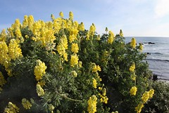 Yellow Bush Lupine (Lupinus arboreus)